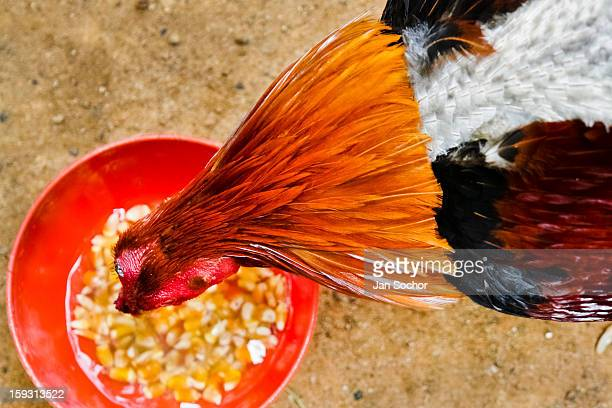 A cockfighting rooster seen during feeding in the breeding station in Cucuta Colombia on May 01 2006 Cockfight is a widely popular and legal sporting...
