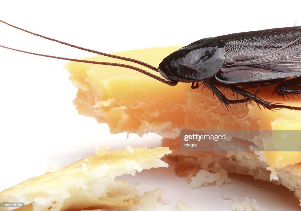 Cockroach on a Cracker : Stock Photo