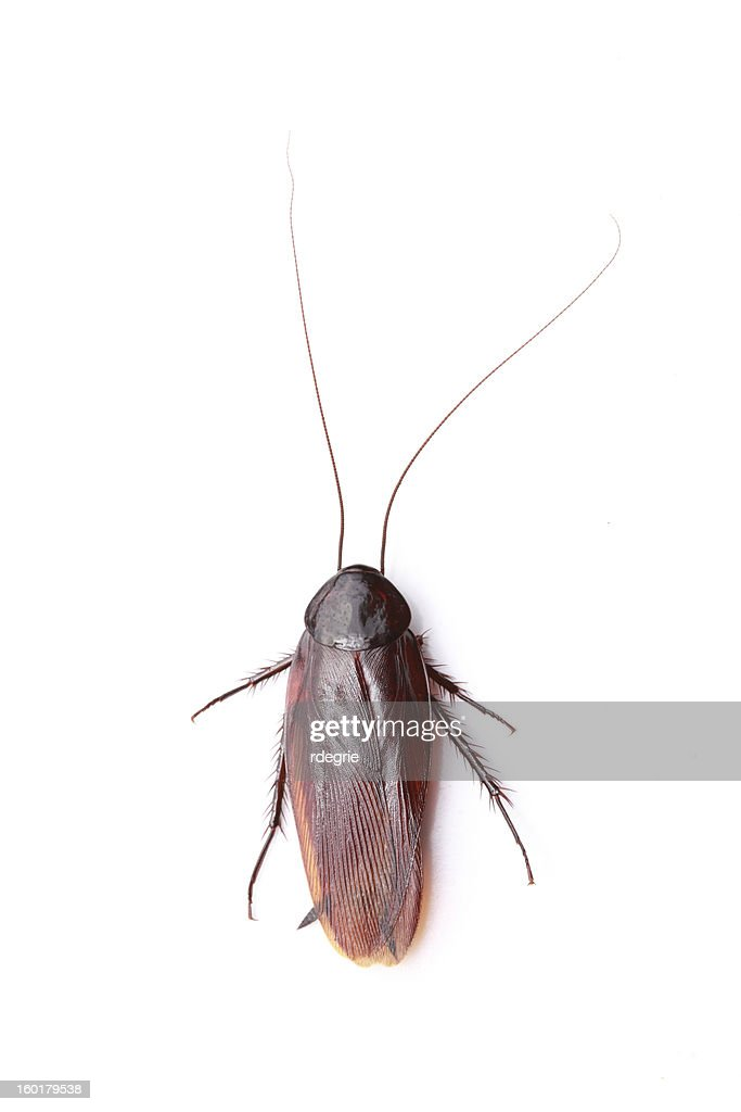 Cockroach on White : Stock Photo