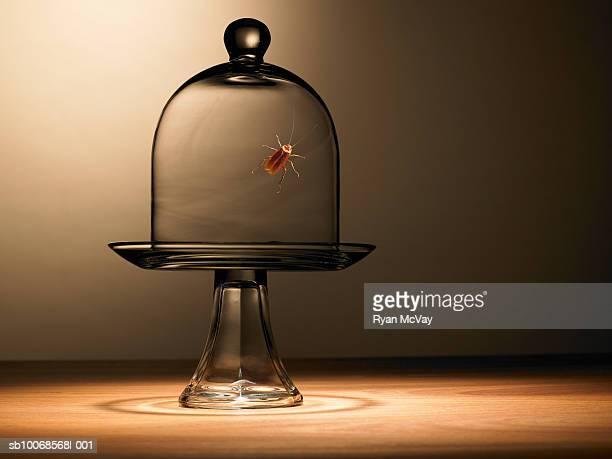 Cockroach under bell jar