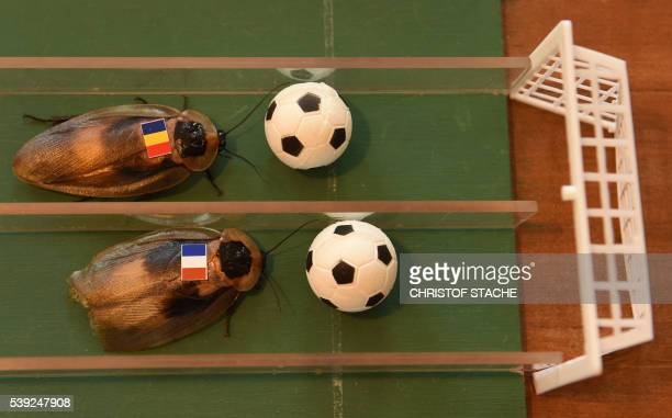 Cockroaches decorated Romanian and French flags run at the cockroaches racing course built by Berlinbased Russian painter Nikolai Makarov in his...