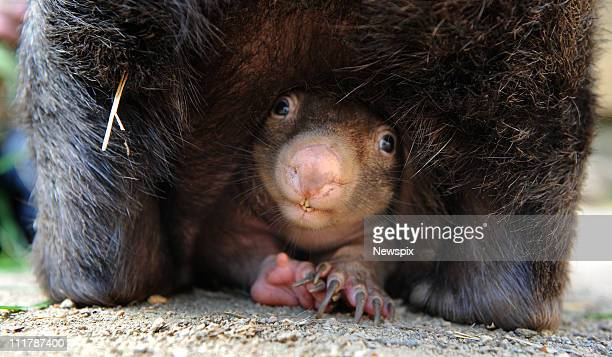 Coco the 12yearold Common Wombat has given birth to her third baby at Ballarat Wildlife Park in Victoria which is a rare occurance in captive Wombats