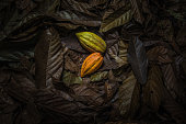 Cocoa or cacao fruits on ground covered with cocoa leaves