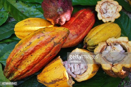 Cocoa fruits : Stock Photo