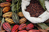 There are three main cultivar groups of cacao beans used to make cocoa and chocolate. The most prized, rare, and expensive is the Criollo Group, the cocoa bean used by the Maya, which is less bitter a