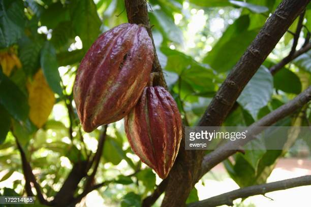 A cocoa plant hanging from a tree