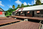 Cocoa beans drying at the plantation on Grenada in the Caribbean