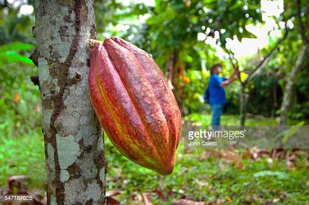 Cocoa Pod, Cahuita, Costa Rica