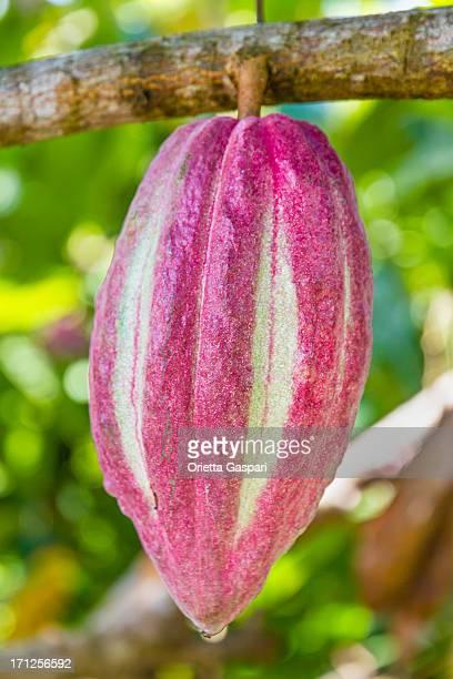 Cocoa Pod, Grenada