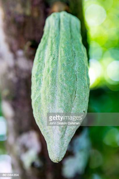 Cocoa Pod on Tree