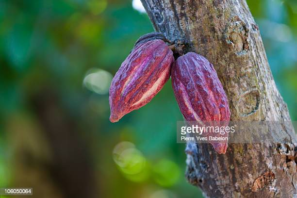 Cocoa pods from Madagascar