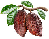 Cocoa pods hanging from the cocoa branch. Conceptual photo. Clipping path.