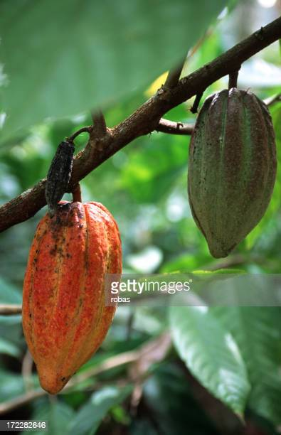 Cocoa pods hanging on a branch