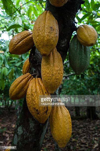 Cocoa pods on a tree in a farm in Sao Felix do Xingu Para state northern Brazil on August 7 2013 AFP PHOTO / YASUYOSHI CHIBA
