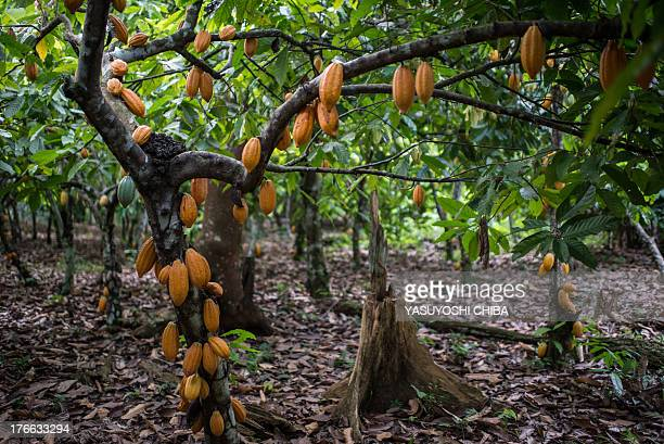 Cocoa pods ready to be cropped in a farm in Sao Felix do Xingu Para state northern Brazil on August 7 2013 AFP PHOTO / YASUYOSHI CHIBA