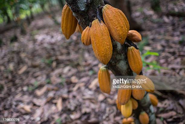 Cocoa pods ready to be cropped in Sao Felix do Xingu Para state northern Brazil on August 7 2013 AFP PHOTO / YASUYOSHI CHIBA