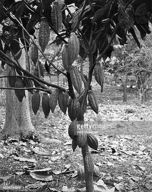 Cocoa tree Jamaica c1905 Cocoa or cacao tree with pods from which chocolate is made Illustration from Picturesque Jamaica by Adolphe Duperly Son