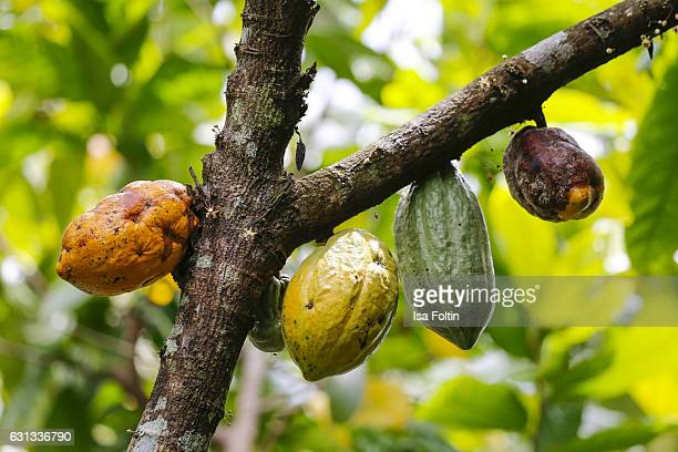 TEGALLALANG BALI INDONESIA JANUARY 03 A cocoa tree with cocoa beans in diffrent ripe phases inside the Pulina Coffee Plantation on January 03 2016 in...