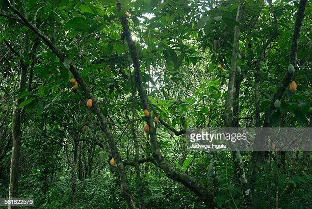 Cocoa trees plantations, Grand Cape Mount,Liberia