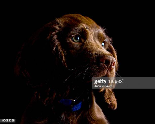 Cocolate brown cocker spaniel puppy