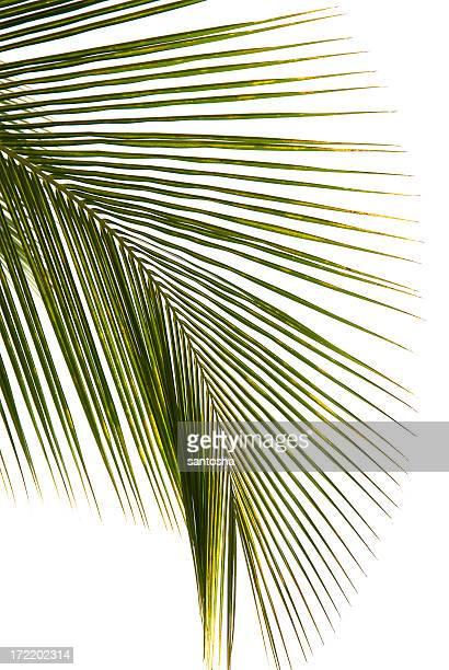 ココナッツの葉の白背景