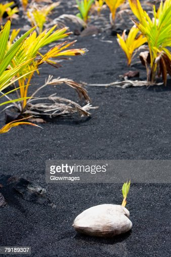 Coconut on black sand, Kalapana, Big Island, Hawaii Islands, USA : Stock Photo