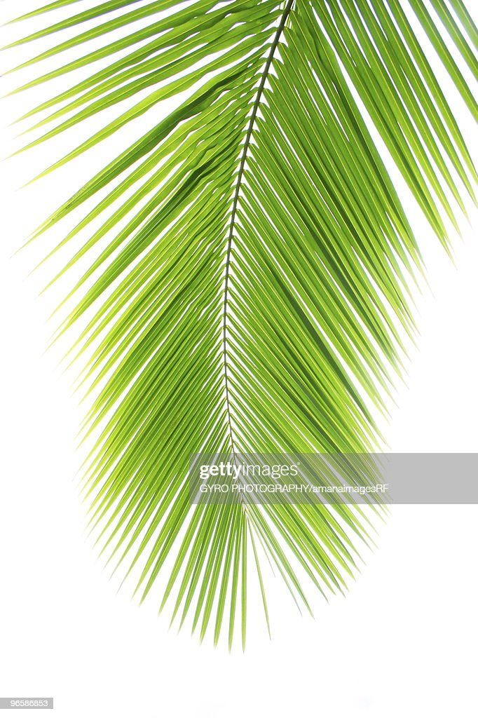 Coconut palm frond : Stock Photo