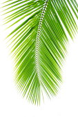 Coconut palm frond