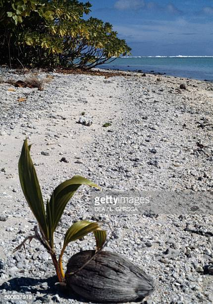 Coconut palm on the beach Rangiroa Tuamotus French Polynesia Overseas Territory of France