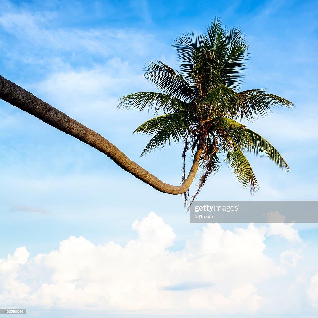 Coconut palm tree : Stock Photo