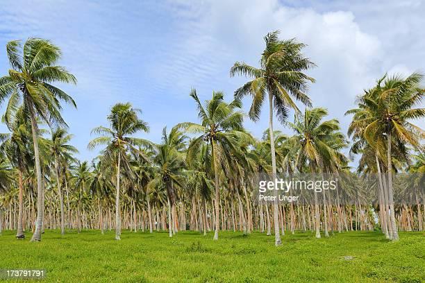 Coconut Palm Tree plantation, Efate Island