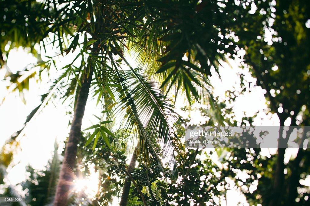 Coconut palm trees. Goa, India : Stock Photo