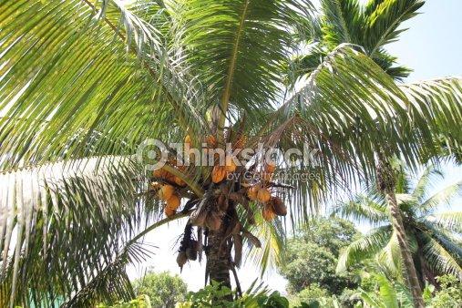 Des palmiers de noix de coco tropical de l le de praslin - Palmier noix de coco ...