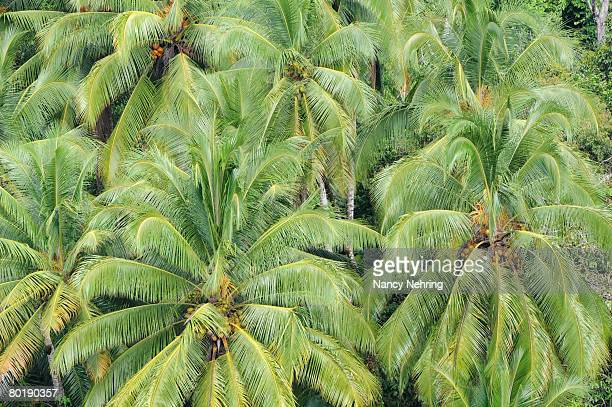Coconut palms, Cocos nucifera, from above. Costa Rica.