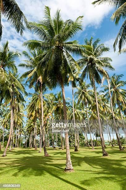 Coconut Palms -Cocos nucifera- on a plantation, coconut cultivation, Khao Lak, Phang Nga Province, Thailand