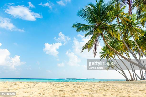 Coconut palms on beach in the Maldives
