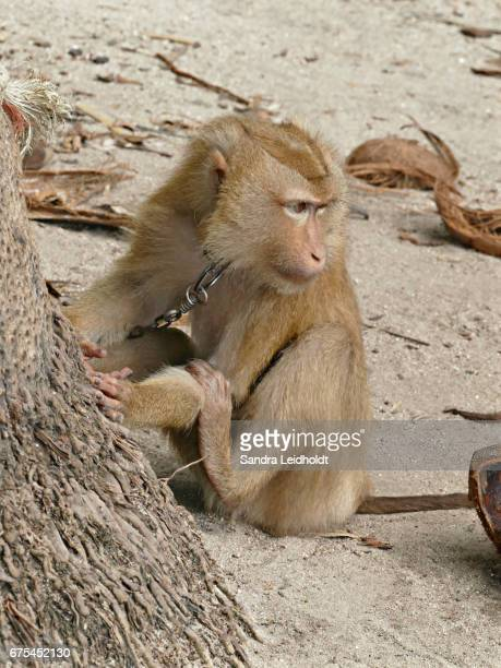 Coconut Picking Macaque of Thailand