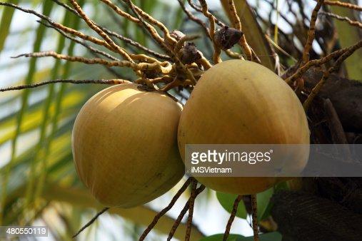 Coconut : Stock Photo