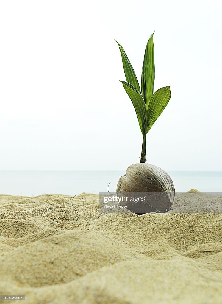 coconut seedling in Thailand. : Stock Photo