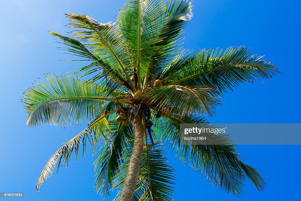 Coconut tree against blue sky : Stock Photo