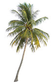 coconut tree isolated on white background