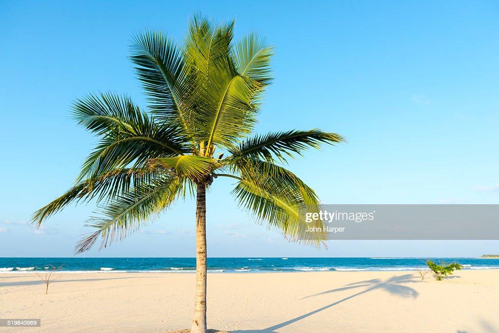 Coconut tree on idyllic beach, Sri Lanka