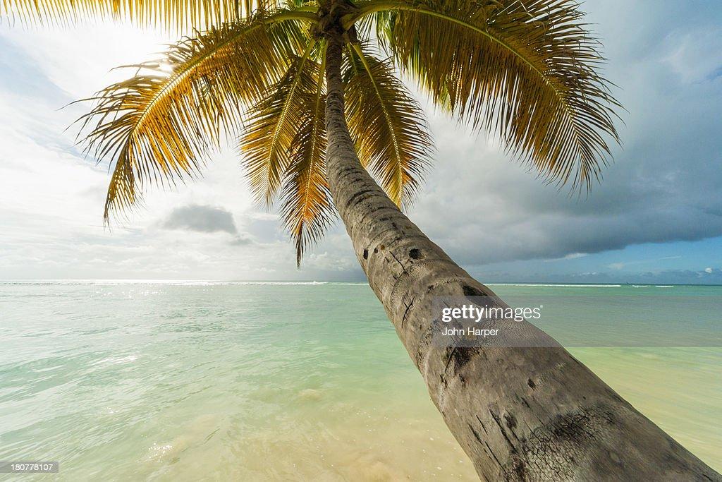 Coconut tree, Pigeon Point, Tobago