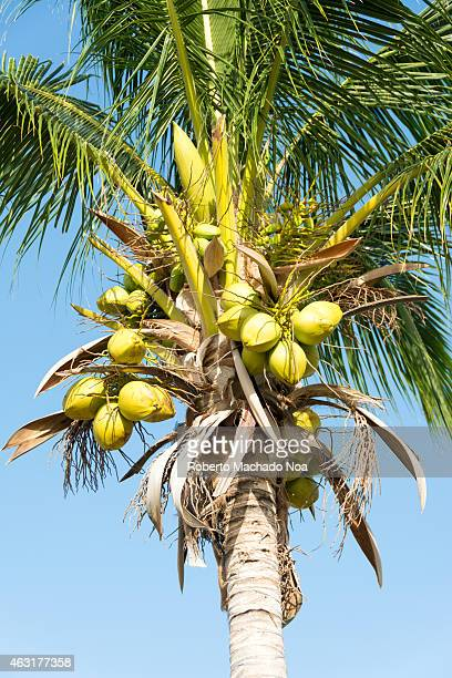 Coconut tree with fruits with a blue sky background in a tropical country