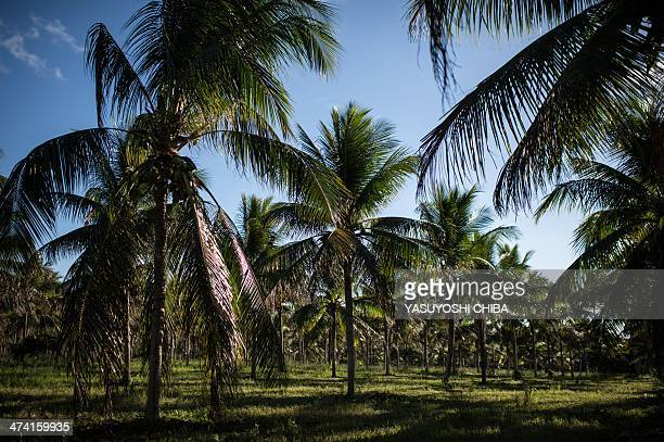 Coconut trees are seen at a field in the Ferriera family farm in Acajutiba about 180 km north from Salvador in Bahia state Brazil on February 18 2014...