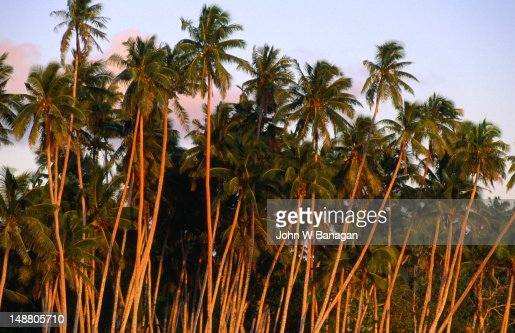 Coconut trees at dusk on Paradise Beach. : Stock Photo