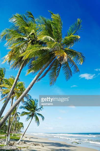 Coconut trees in a white sand beach