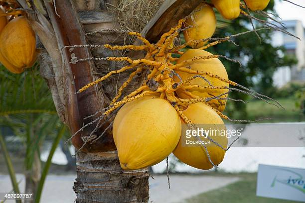Coconuts -Cocos nucifera- growing on tree, Mauritius