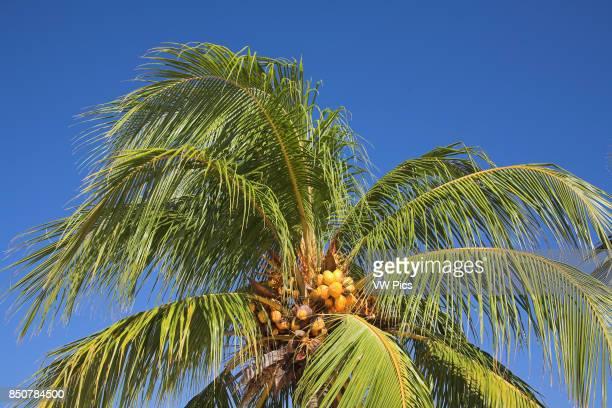 Coconuts growing on a palm tree Guardalavaca Holguin Province Cuba