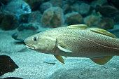 Cod fish floating in aquarium
